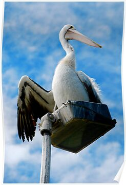 PELICAN  WATCHER by Scott  d'Almeida