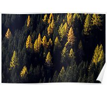 Golden Larches Poster