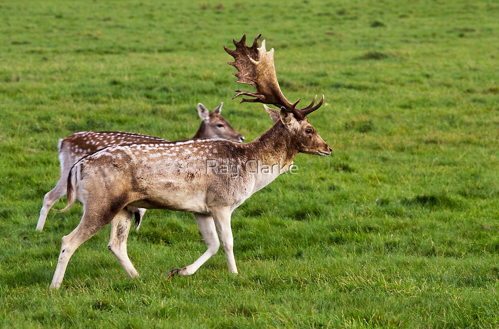 Fallow Deer by Ray Clarke