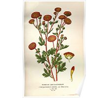 Favourite flowers of garden and greenhouse Edward Step 1896 1897 Volume 2 0226 Pompon Chrysanthemum Poster