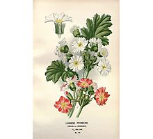 Favourite flowers of garden and greenhouse Edward Step 1896 1897 Volume 3 0068 Chinese Primrose Photographic Print