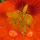 Orange Nasturtium by Sherilee Evelyn