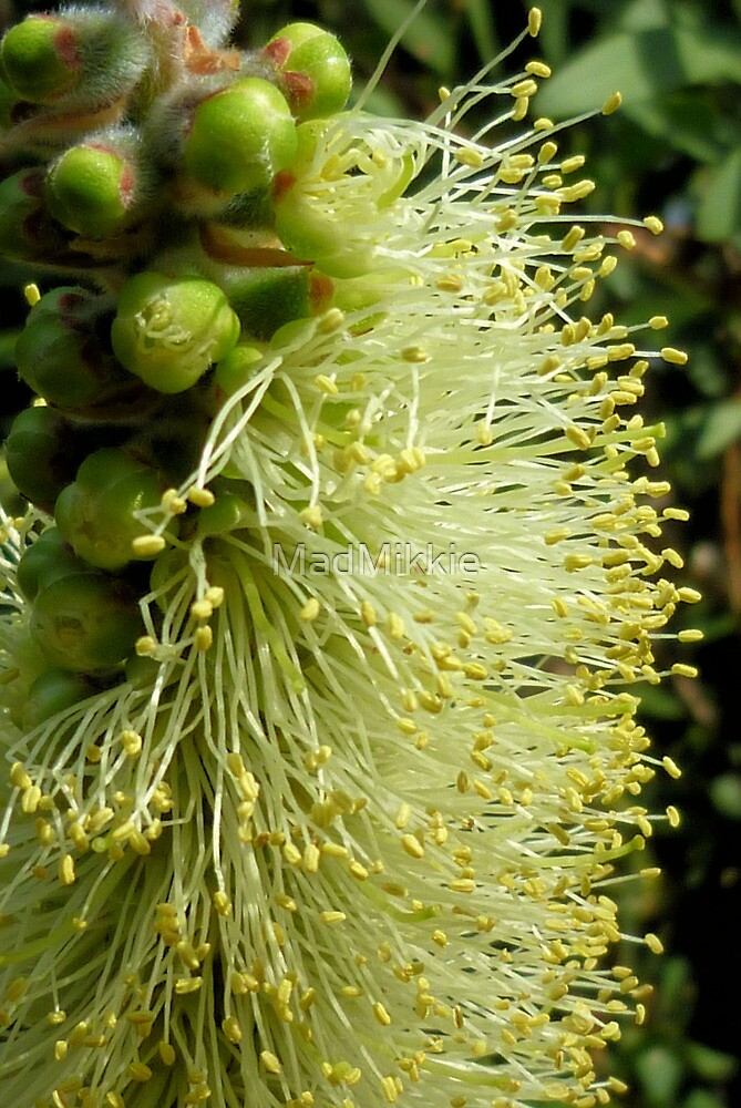 White/yellow Bottle Brush Flower by MadMikkie