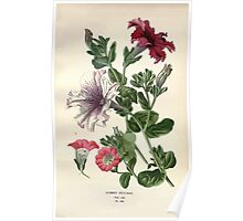 Favourite flowers of garden and greenhouse Edward Step 1896 1897 Volume 3 0143 Hybrid Petunias Poster