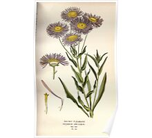 Favourite flowers of garden and greenhouse Edward Step 1896 1897 Volume 2 0178 Showy Fleabane Poster