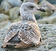 Nestling Gull by lynn carter