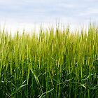 Green wheat field by ShanneOng