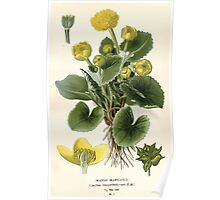Favourite flowers of garden and greenhouse Edward Step 1896 1897 Volume 1 0033 Marsh Marigold Poster