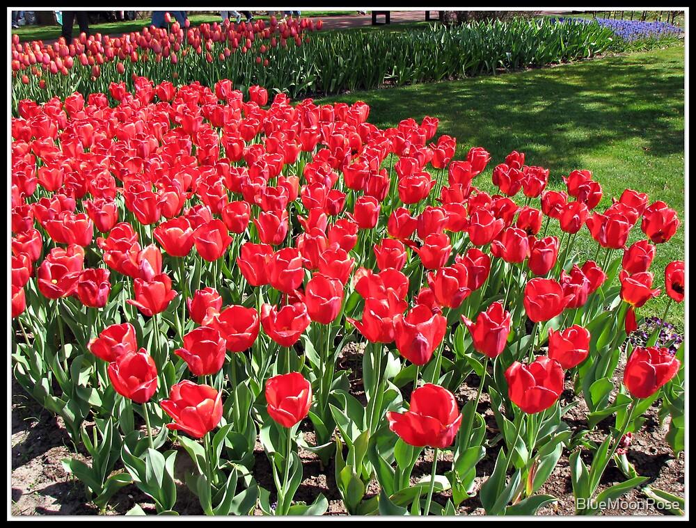 Scarlet Tulips in the Keukenhof Gardens, Holland by BlueMoonRose