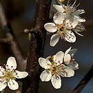 Hawthorne Blossom, a touch of Spring. by Billlee