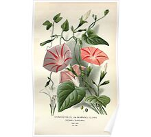 Favourite flowers of garden and greenhouse Edward Step 1896 1897 Volume 3 0128 Convolvulus or Morning Glory Poster