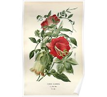 Favourite flowers of garden and greenhouse Edward Step 1896 1897 Volume 3 0113 Cobaea Scandens Poster