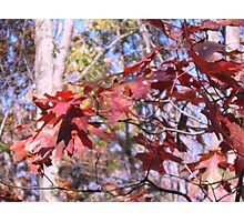 Oak Leaves In Fall Photographic Print