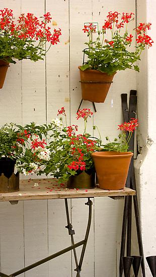 Geraniums by Linn Arvidsson