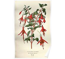 Favourite flowers of garden and greenhouse Edward Step 1896 1897 Volume 2 0094 Fuchsia Globosa and Gracilis Poster