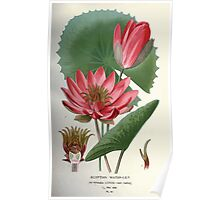 Favourite flowers of garden and greenhouse Edward Step 1896 1897 Volume 1 0057 Egyptian Water Lilly Poster