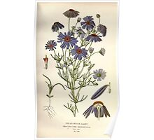 Favourite flowers of garden and greenhouse Edward Step 1896 1897 Volume 2 0160 Swan River Daisy Poster