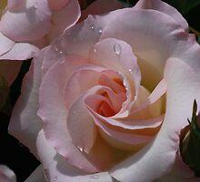 Morning Rose by NannaLindy