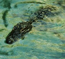 Gator by MaureenS