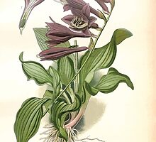 Favourite flowers of garden and greenhouse Edward Step 1896 1897 Volume 4 0147 Plantain Lily by wetdryvac