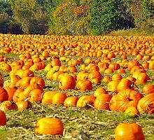 Pumpkin Field in Autumn, Ontario, Canada by ArianaMurphy