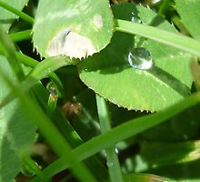 Perfect raindrop on a clover leaf by Michelle  Evans-Catherall