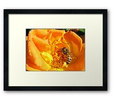 Bee ~ Stopping to smell the Rose Framed Print