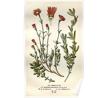 Favourite flowers of garden and greenhouse Edward Step 1896 1897 Volume 2 0136 Fig Marigolds Poster