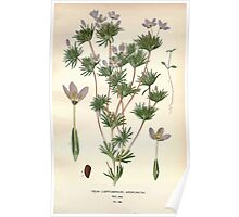 Favourite flowers of garden and greenhouse Edward Step 1896 1897 Volume 3 0101 Gilia Androsacea Poster