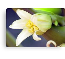 Flower Of The Pawpaw Canvas Print