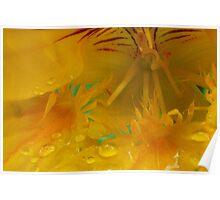 Yellow Nasturtium with raindrops 1 Poster
