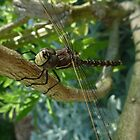 Dragonfly - Adelaide, South Australia by Dan & Emma Monceaux