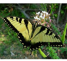 Eastern Swallowtail Butterfly in macro Photographic Print