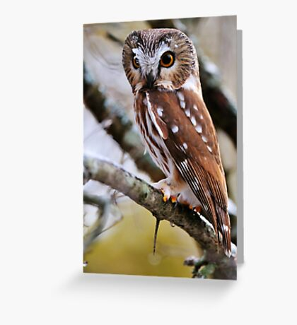 Northern Saw Whet Owl - Amherst Island, Ontario Greeting Card