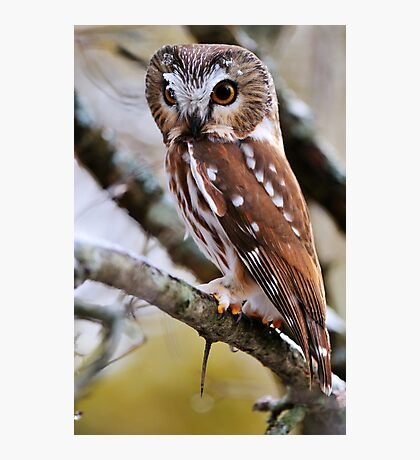 Northern Saw Whet Owl - Amherst Island, Ontario Photographic Print