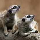 Baby Meerkats by Barb Leopold