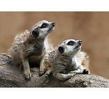 Baby Meerkats Photographic Print