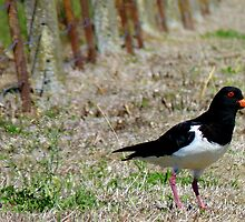 Come this way Please! - Pied Oyster Catcher - NZ by AndreaEL