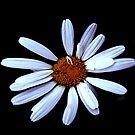 Sun Flower by Trevor Kersley