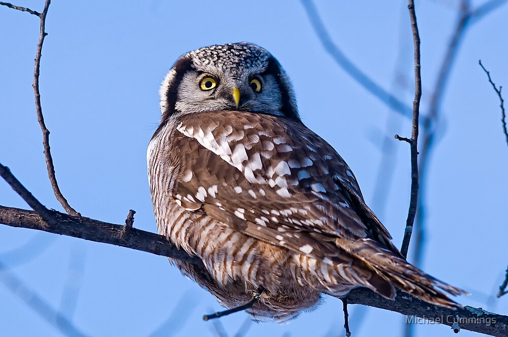 Northern Hawk Owl - Ottawa, Canada by Michael Cummings