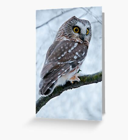 Northern Saw Whet Owl Branch Greeting Card