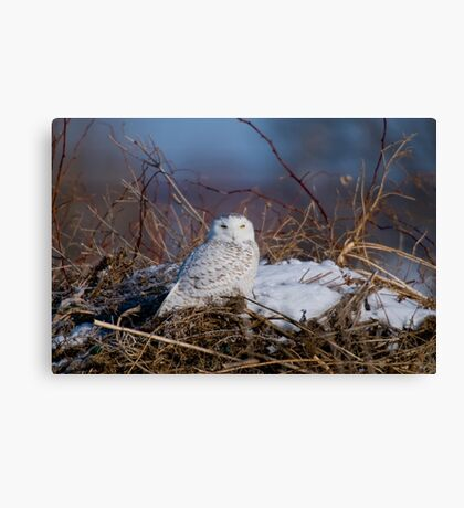 Snowy Owl on Hill Top - Amherst Island, Ontario Canvas Print