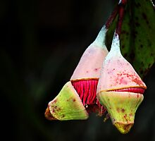 gum tree flowering by nadine henley