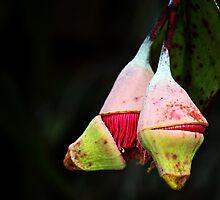 gum tree flowering by nadine henley