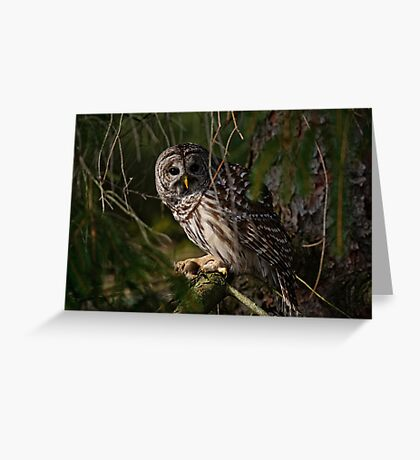 Barred Owl in Pine Tree -  Brighton, Ontario - 4 Greeting Card