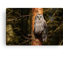 Barred Owl in Pine Tree -  Brighton, Ontario Canvas Print