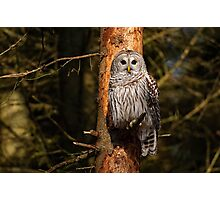 Barred Owl in Pine Tree -  Brighton, Ontario Photographic Print