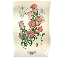Favourite flowers of garden and greenhouse Edward Step 1896 1897 Volume 3 0020 Canterbury Bells Poster