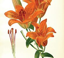 Favourite flowers of garden and greenhouse Edward Step 1896 1897 Volume 4 0195 Saffron Lily by wetdryvac
