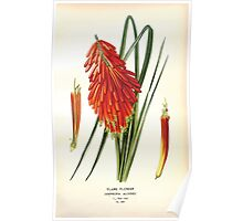 Favourite flowers of garden and greenhouse Edward Step 1896 1897 Volume 4 0151 Flame Flower Poster